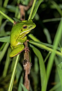 little green frog on a branch with green grass background